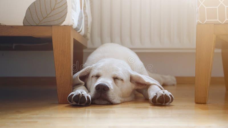 Sonos do cachorrinho de labrador retriever em casa no assoalho fotografia de stock