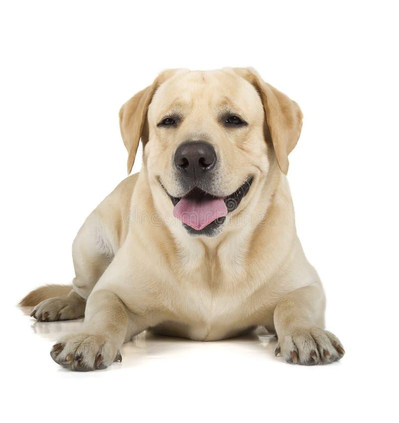 Sonrisa amarilla del labrador retriever foto de archivo