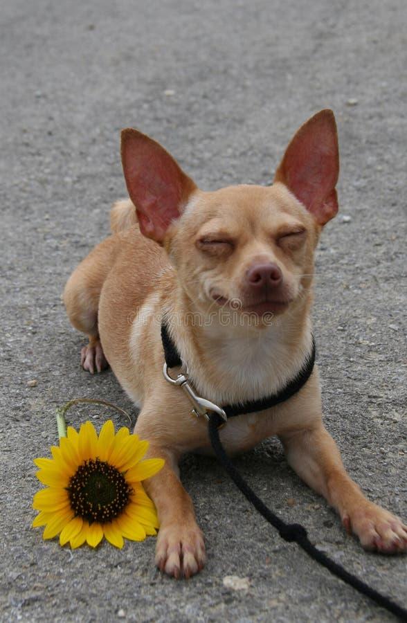 Sonrisa de Biggilo imagen de archivo