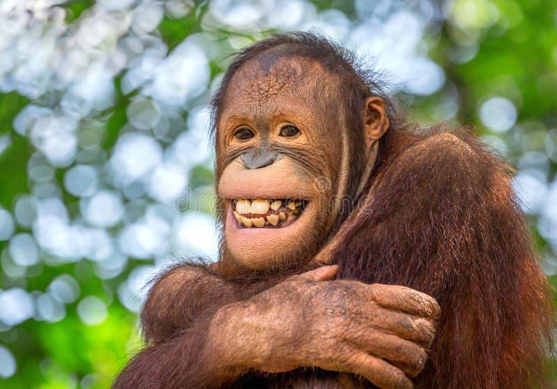 sonrisa de un orangután masculino fotografía de archivo libre de regalías