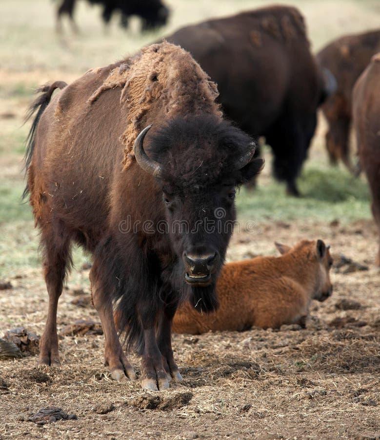 Sonrisa del búfalo imagen de archivo