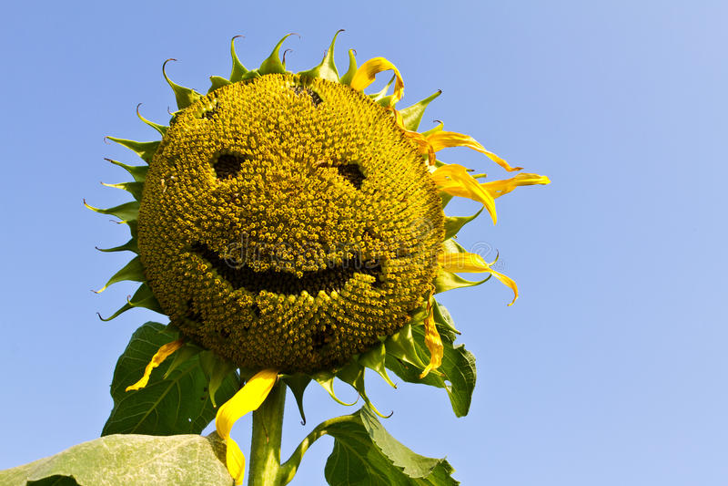 Sonrisa del girasol. fotografía de archivo