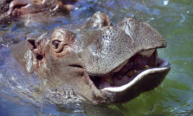 Sonrisa del hipopótamo imágenes de archivo libres de regalías