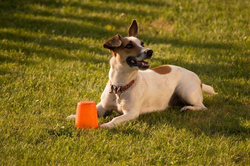 Sonrisa del perro de Gato Russel fotografía de archivo