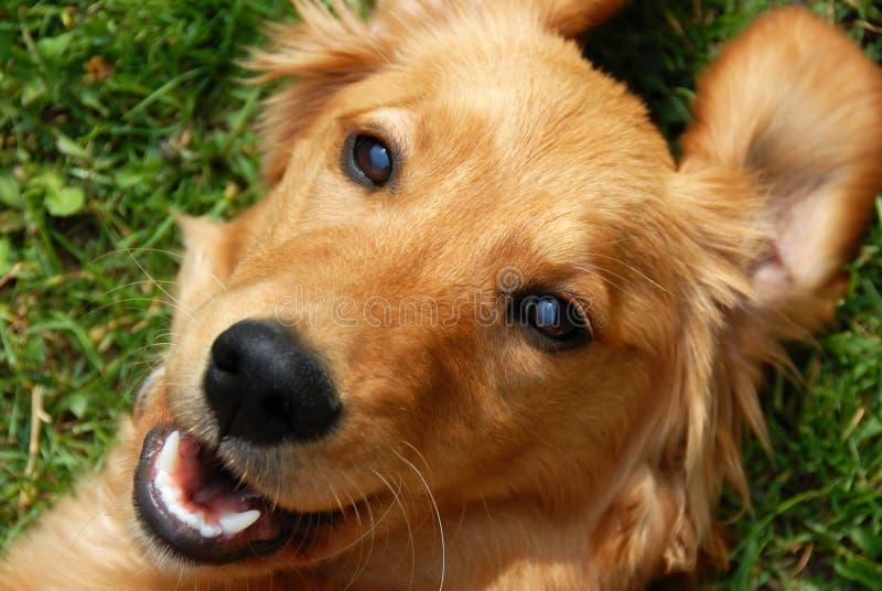 Sonrisa del perro perdiguero de oro fotos de archivo libres de regalías