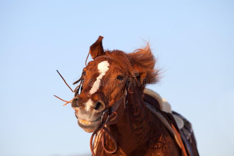 Sonrisa divertida del caballo imagen de archivo libre de regalías