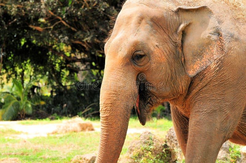 Sonrisa femenina del elefante asiático imágenes de archivo libres de regalías