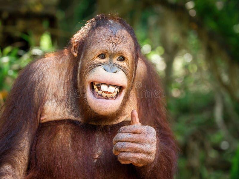 Sonrisa joven del orangután fotografía de archivo libre de regalías