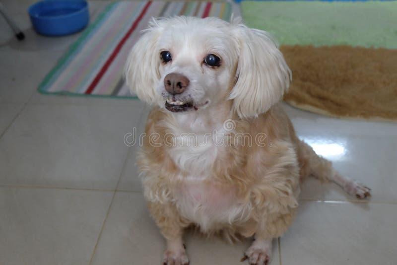 Sonrisa linda afortunada del papel pintado lindo del iphone del pequeño perro imagen de archivo