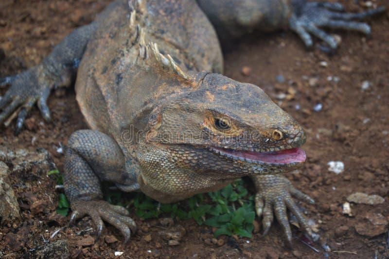 Sonrisa negra de la iguana foto de archivo