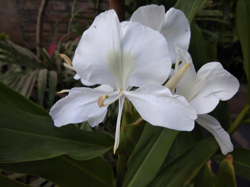 Sontakka Flower royalty free stock image