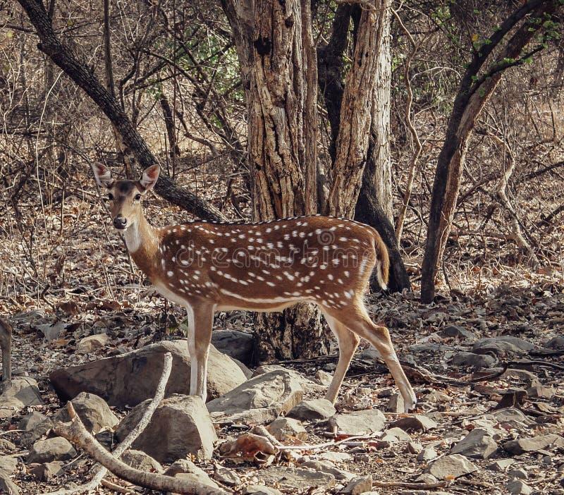 Deer of The Gir!. Sony  deer gir girnationalpark girforest girwildlife girjungle girjunagadh gujarat gujarattourism wildlifephotography royalty free stock images