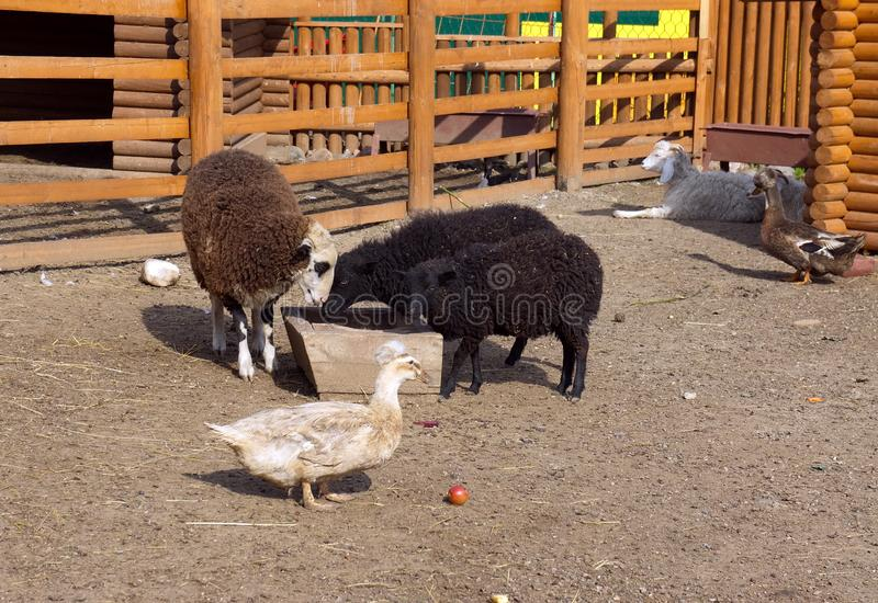 Different animals at the feeding trough in the kindergarten. royalty free stock photo