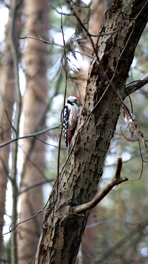 Spotted woodpecker all around The good doctor, a good friend. The photo shows a mottled woodpecker. It is often found in forests. Usually it is first heard and stock photography