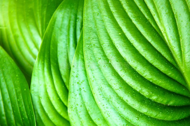 Green leaves after summer rain, large green leaves with veins, tropical. Tropical Green leaves after summer rain, large green leaves with veins royalty free stock images