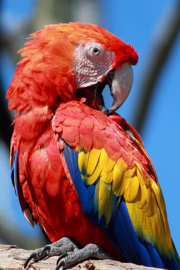 Sooo proud to be Romanian!. Scarlet Macaw - a large, red, yellow and blue South American parrot, photographed in Blijdorp Zoo, Rotterdam royalty free stock images