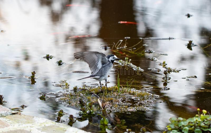 Soort zangvogels Een witte kwikstaart op een rots in een ondiep water in de vroege lente in Duitsland Alba motacilla is klein royalty-vrije stock afbeeldingen