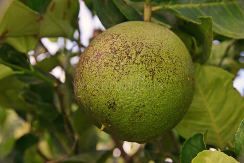 Soothy form på sötcitronfrukt, växtsjukdom arkivfoto