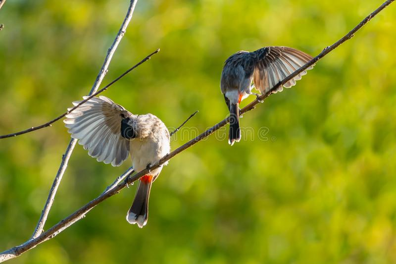 Sooty-headed Bulbuls preening their wings on a perch under evening sun light. Chiang Mai, Thailand royalty free stock image