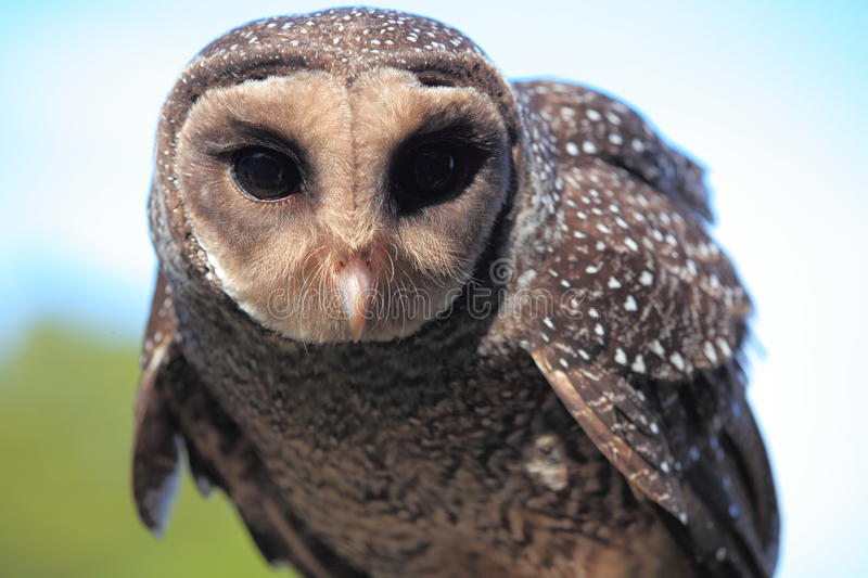 Sooty Owl portrait royalty free stock image
