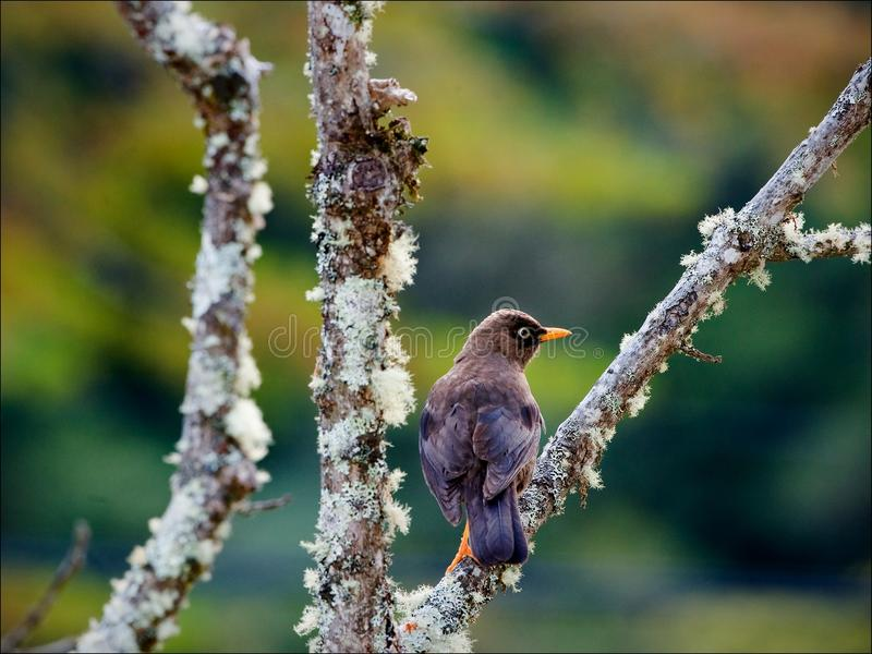 The Sooty Thrush. The Sooty Thrush (Turdus nigrescens) is a large thrush endemic to the highlands of Costa Rica and western Panama. It was formerly known as the royalty free stock photos