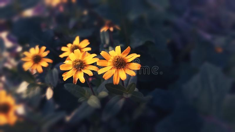 Yellow Blossoms royalty free stock image