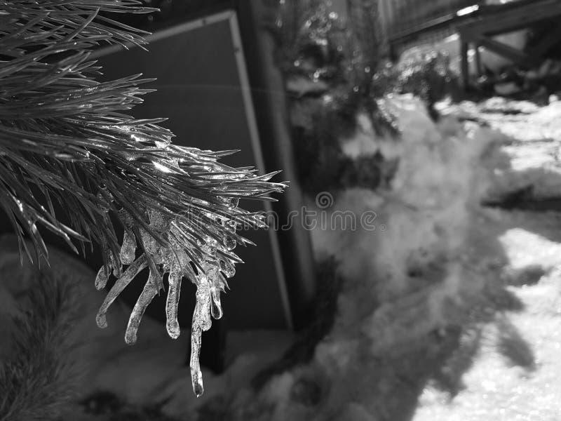 Sople lub marznący lód na gałąź sosna w promieniach słońce w lub choinka zimie lub wiośnie zdjęcie royalty free