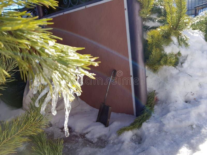 Sople lub marznący lód na gałąź sosna w promieniach słońce w lub choinka zimie lub wiośnie fotografia stock