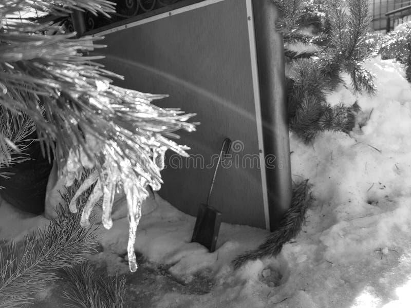 Sople lub marznący lód na gałąź sosna w promieniach słońce w lub choinka zimie lub wiośnie zdjęcia stock