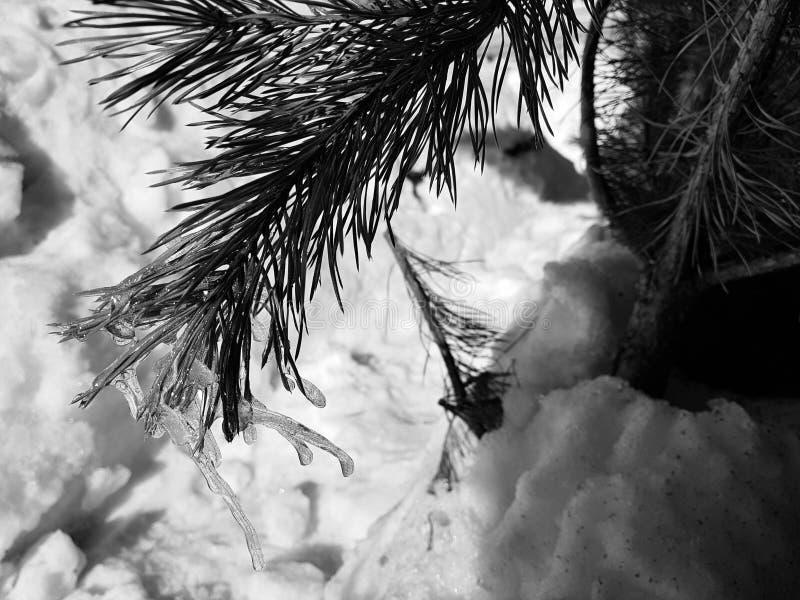 Sople lub marznący lód na gałąź sosna w promieniach słońce w lub choinka zimie lub wiośnie obraz stock