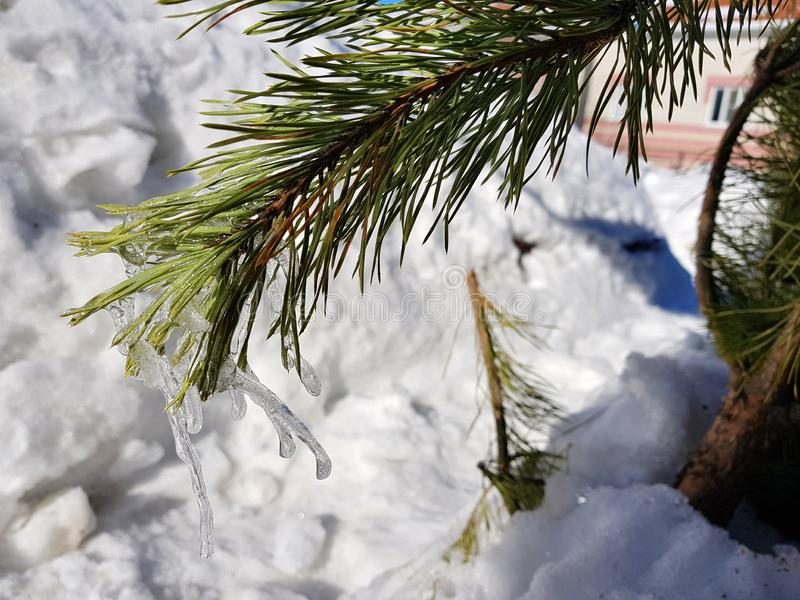 Sople lub marznący lód na gałąź sosna w promieniach słońce w lub choinka zimie lub wiośnie obraz royalty free