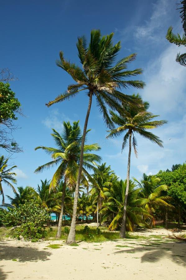 Soplo alto de las palmeras en la brisa foto de archivo