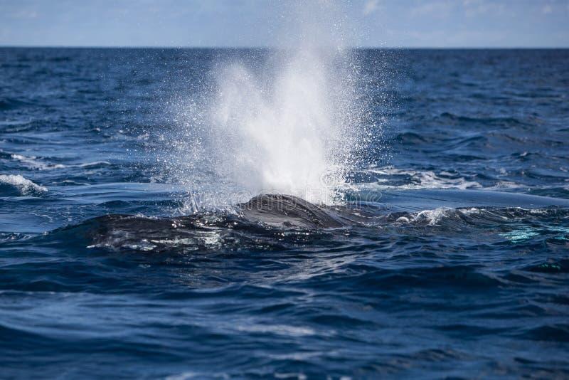 Soplo de la ballena jorobada en la superficie imagen de archivo