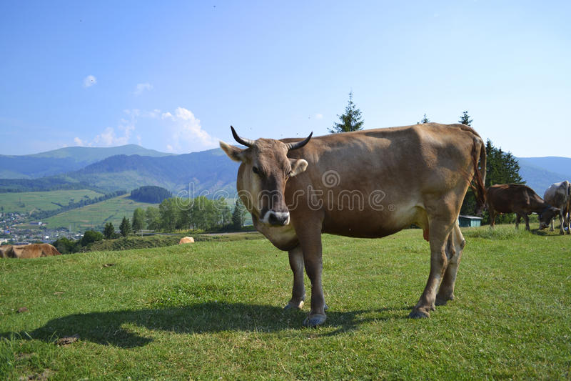 Soporte animal de la opinión de la naturaleza de la vaca imagenes de archivo