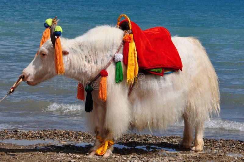 Soporte blanco de los yacs en la orilla del lago imagen de archivo libre de regalías