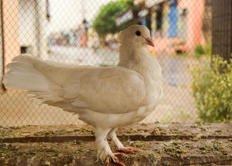Soporte blanco hermoso de la reina de la paloma en jaula fotografía de archivo