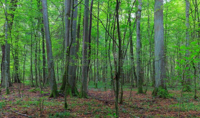 Soporte de hojas caducas natural de los árboles del lyme fotos de archivo libres de regalías