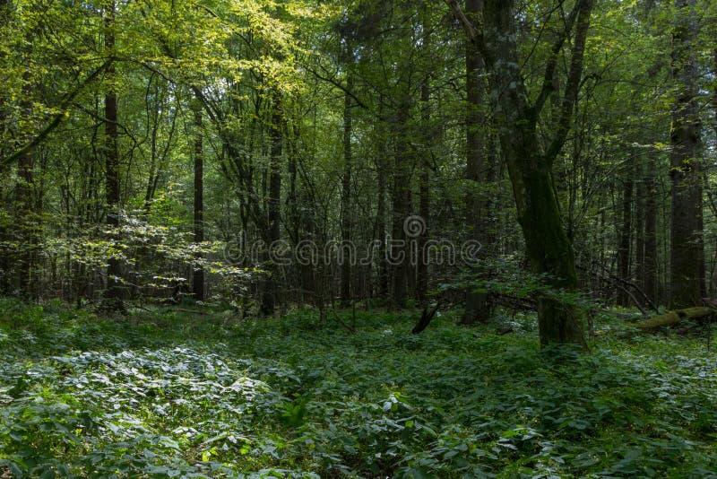 Soporte de hojas caducas sombrío profundo con el árbol viejo del carpe fotografía de archivo