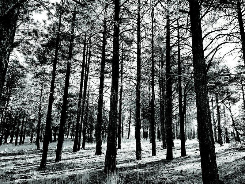 Soporte del árbol de pino ponderosa foto de archivo libre de regalías
