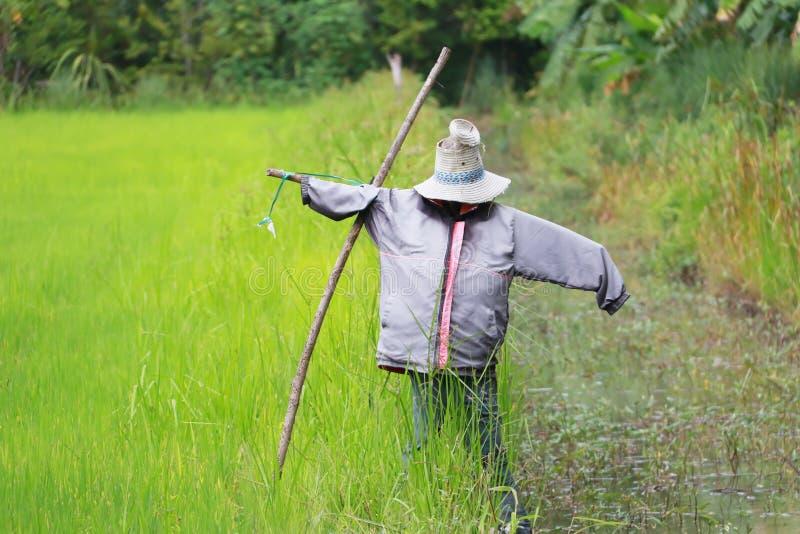 Soporte del espantapájaros solo en el campo del arroz de arroz imagen de archivo