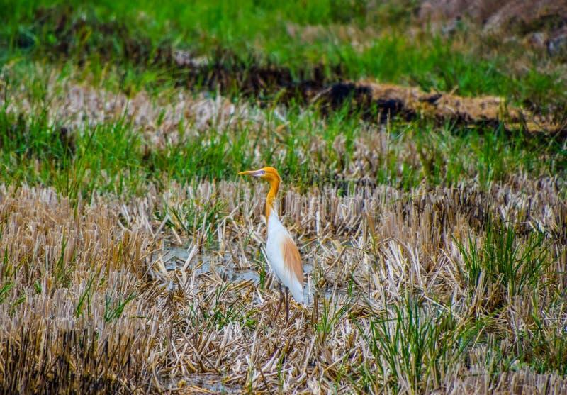 Soporte del pájaro de la garceta de ganado en el medio de los campos del arroz cosechados para buscar para la comida fotografía de archivo libre de regalías