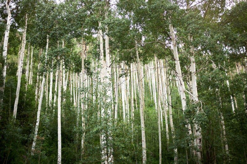 Soporte denso de los árboles del álamo temblón en verano imagenes de archivo