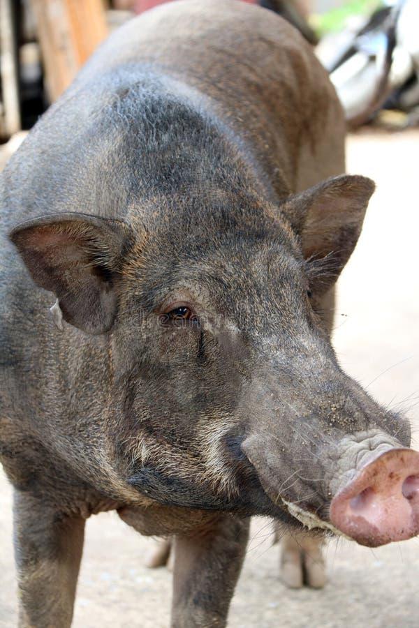 Soporte grande negro del cerdo en el piso imagenes de archivo