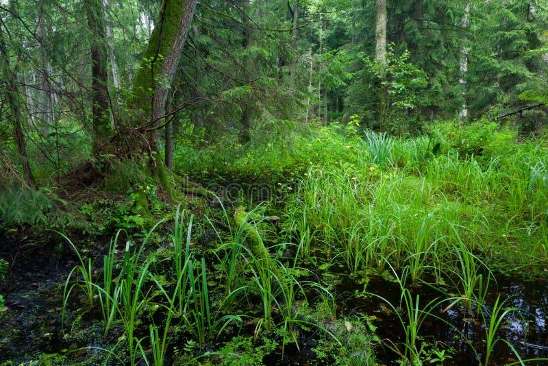 Soporte mezclado riparian rico del bosque de Bialowieza imagen de archivo libre de regalías