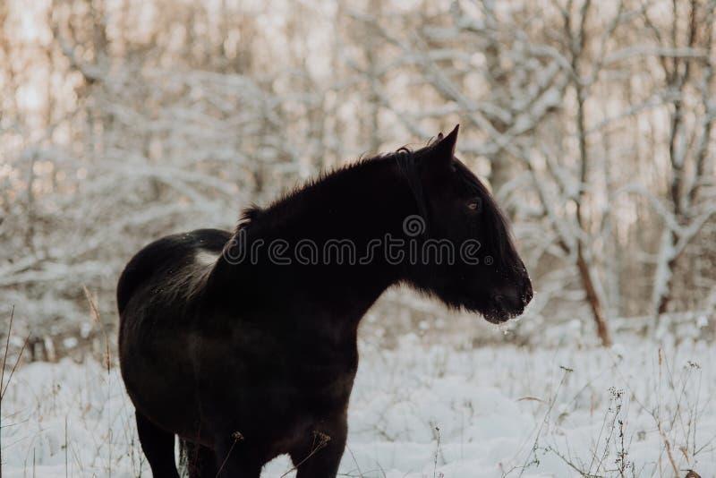 Soporte negro del caballo en invierno en la nieve blanca en bosque foto de archivo libre de regalías