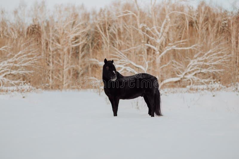 Soporte negro del caballo en invierno en la nieve blanca en bosque fotografía de archivo