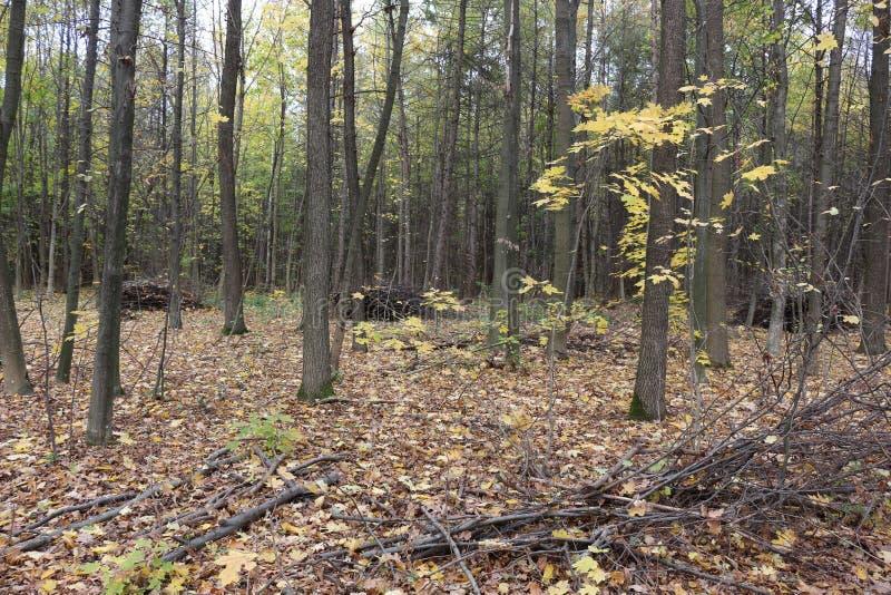 Soportes de bosque del otoño en el follaje amarillo En la tierra son las hojas caidas imagen de archivo libre de regalías