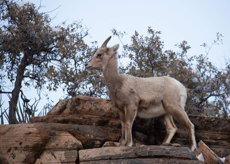 Soportes de cuernos grandes de una oveja del desierto cerca del top de un acantilado de la piedra arenisca roja en el parque naci fotos de archivo libres de regalías