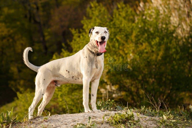 Soportes mezclados blancos y negros del perro de la raza fotos de archivo libres de regalías