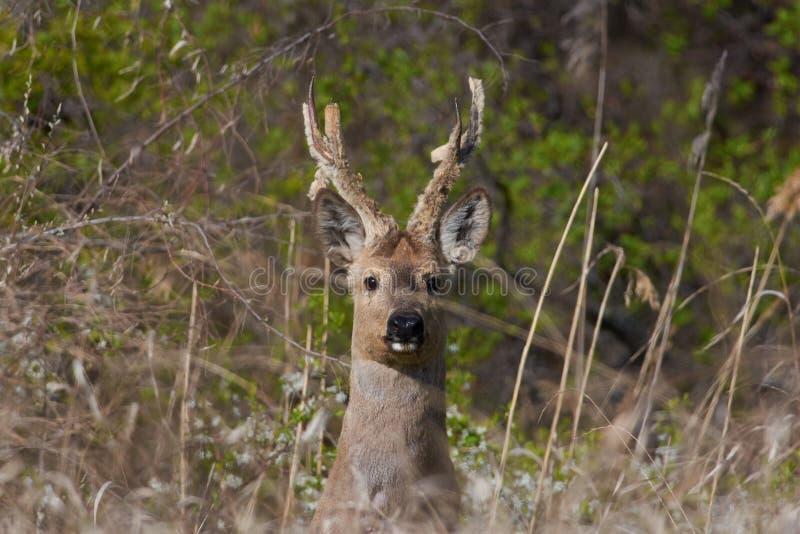 Soportes siberianos de los ciervos de huevas en el rastro al borde del barranco imagen de archivo